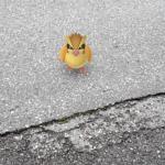 Pokemon Taubsi auf der Strasse.